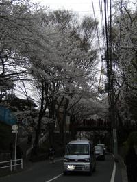 2008032829_sakura0010