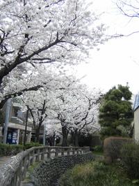 2008032829_sakura0019