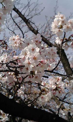 2010_0403sakurashukugawa0002