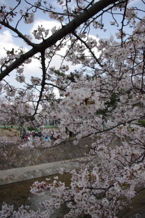 2010_0403sakurashukugawa0009