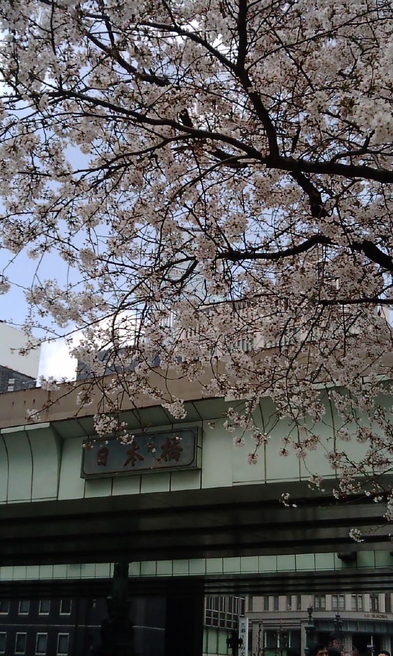東京・日本橋の桜